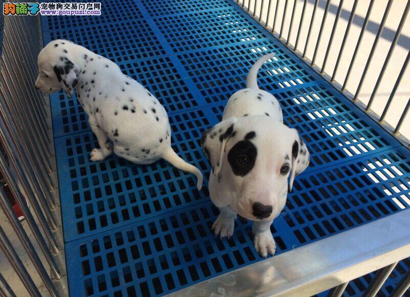 正规狗场繁殖斑点狗 签订购犬合同 品质健康有保障