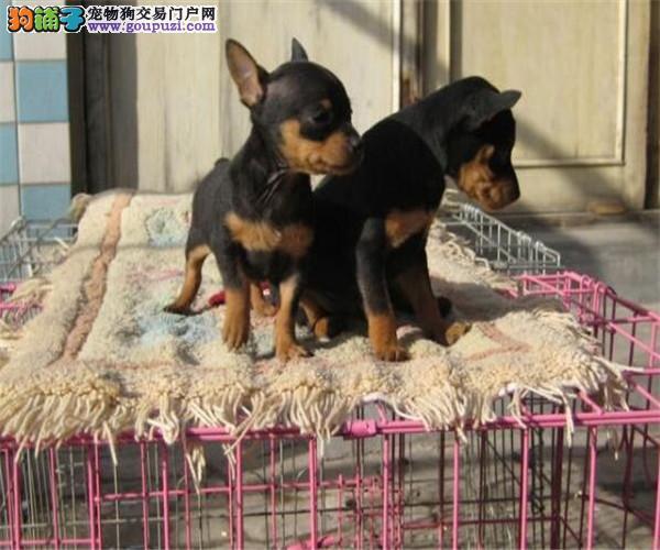 CKU认证犬业专业繁殖小鹿宝宝 绝对信誉