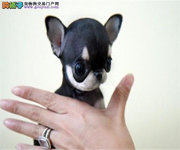 深圳买健康吉娃娃犬必选、自家繁殖、售后三包、包养活