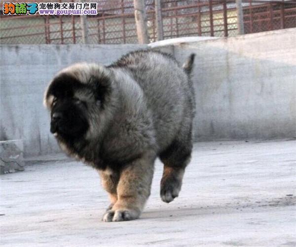 熊版高加索 俄罗斯高加索 巨型高加索 保纯保健康