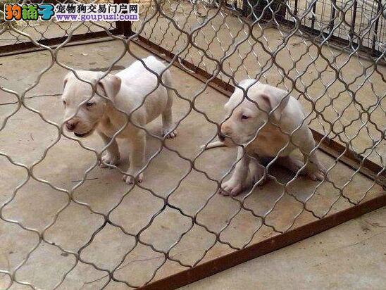基地出售纯种杜高 杜高幼犬 赛级杜高犬欢迎上门看