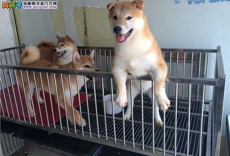 纯种柴犬 保纯保健康CKU认证血统 质量三包