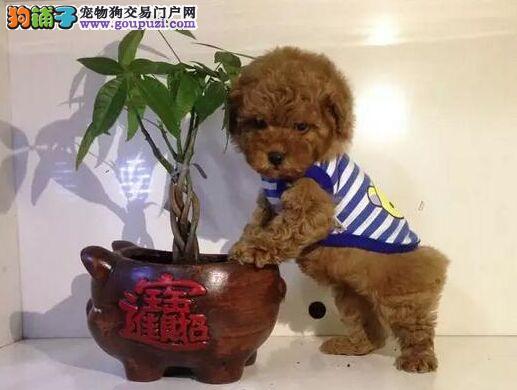 精品茶杯犬出售中欢迎实地选购可签协议
