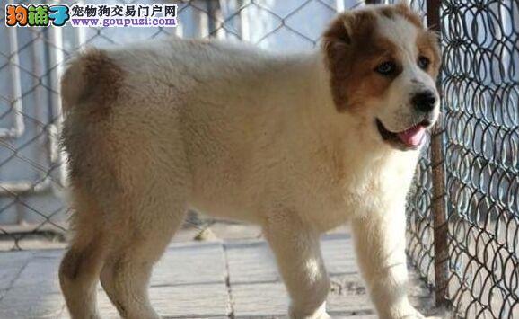 CKU犬舍认证出售纯种中亚牧羊犬质量三包多窝可选