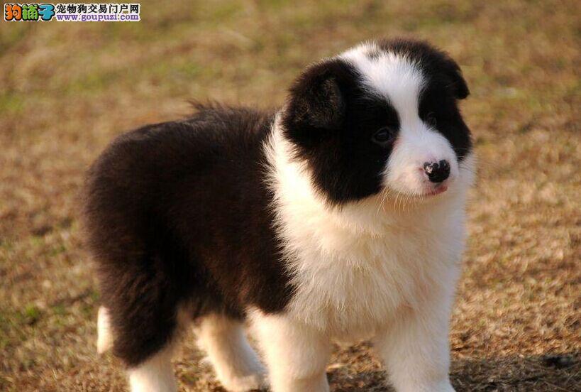 广东最大最具规模的边境牧羊犬 繁育基地购犬好礼优惠
