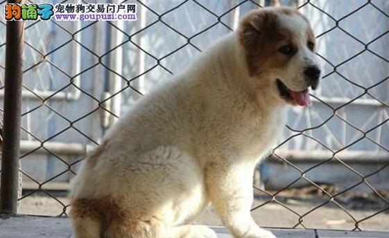 出售纯种健康的青岛中亚牧羊犬幼犬诚信信誉为本