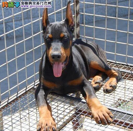健康纯种杜宾犬 购买有保证 带血统证书 包送货