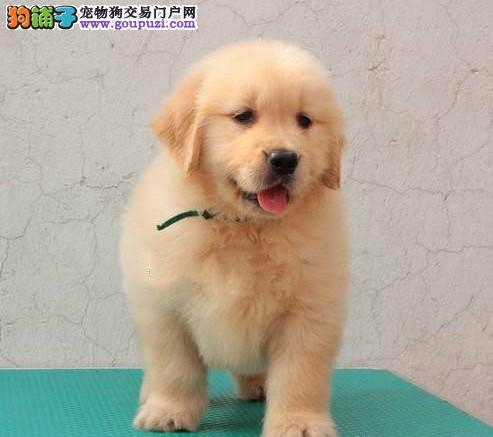 北京最大的金毛犬基地 完美售后 质量三包 可送货上门