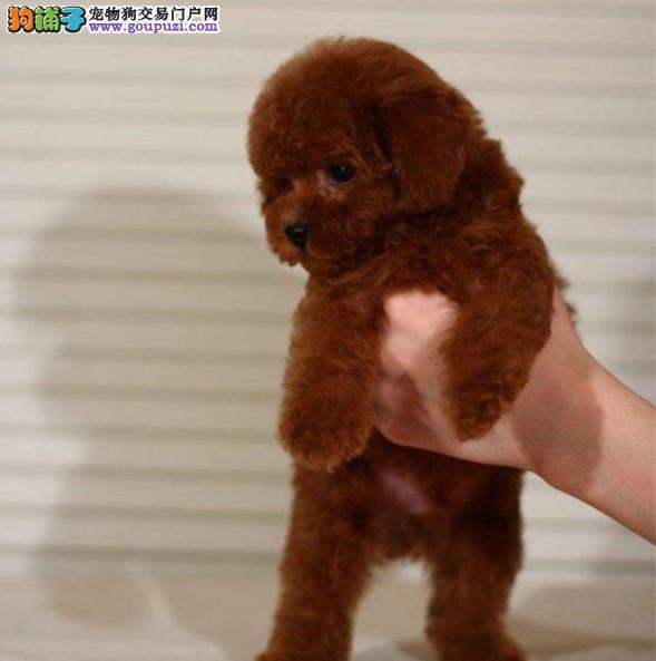 北京最大的泰迪犬基地 完美售后 质量三包 可送货上门