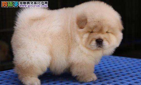 北京最大的松狮犬基地 完美售后 质量三包 可送货上门