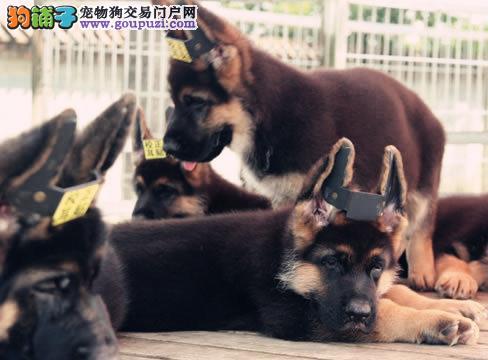 顶级优秀的纯种广东狼狗热销中真实照片视频挑选