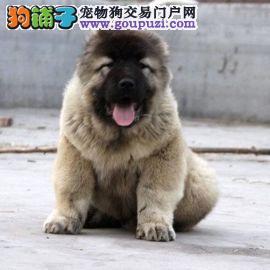 北京最大高加索犬基地 完美售后 质量三包 可送货上门