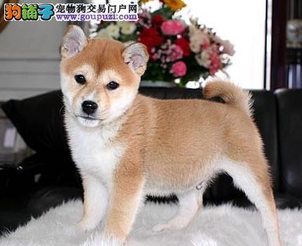 北京最大的柴犬基地 完美售后 质量三包 可送货上门