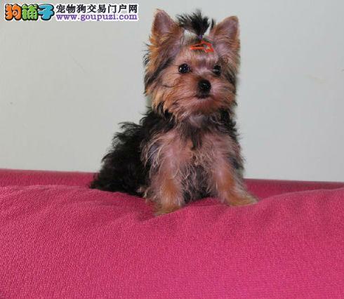 北京最大约克夏犬基地 完美售后 可送货上门