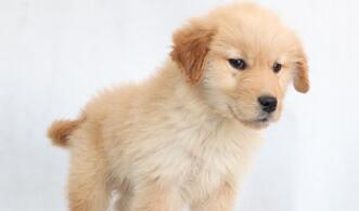聪明可爱的绍兴金毛幼犬低价出售 支持全国空运发货