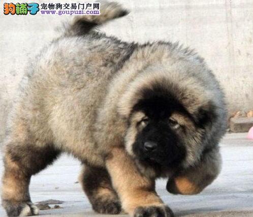 出售四肢强壮 高大威武的绍兴高加索犬 可打电话预定