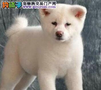 出售忠犬八公秋田犬 欢迎绍兴爱狗人士前来挑选