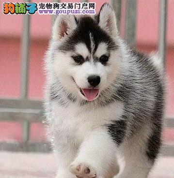 杭州犬业直销纯贵血统哈士奇好品相三把火