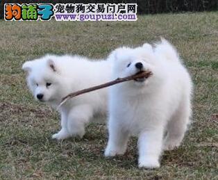 直销价格转让微笑天使萨摩耶 渝中市内可免费送狗