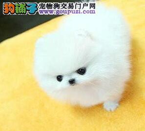 正规犬舍出售杭州博美犬 签协议送套宠物用品