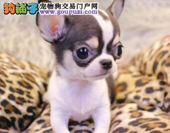 特价直销苹果头吉娃娃 天津周边可免费送狗狗上门