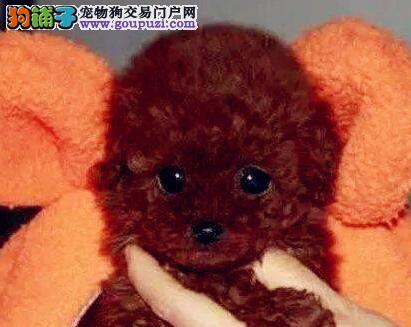 售家养纯种韩国血统杭州贵宾犬 欢迎来家里看狗