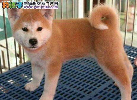 直销赛级品质的沈阳秋田幼犬 签协议送宠物狗用品