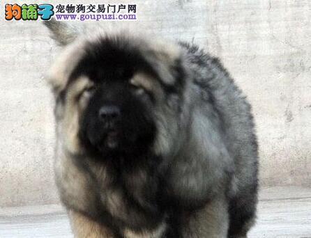 出售徐州犬舍实物拍摄的高加索犬 质保三年可签协议