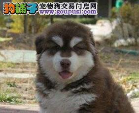 专业繁殖纯种十字脸《阿拉斯加》可上门看狗