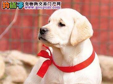 聪明温顺拉布拉多 出售赛季拉布拉多幼犬