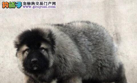 帅气高富帅 深圳哪有纯种高加索 深圳宠物狗价格