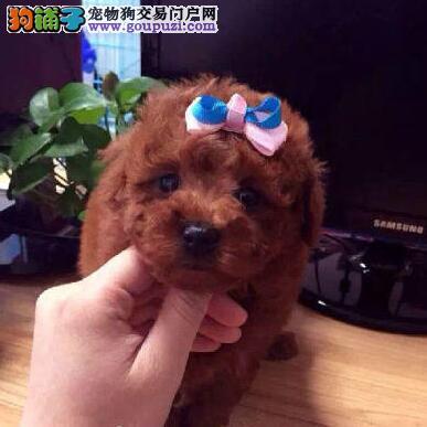 青岛出售韩系纯正茶杯玩具型贵宾犬 签订购犬协议