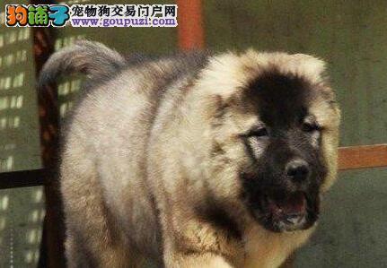 出售青岛高加索犬 接纳顾客一切建议 签定售后协议书