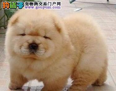 美系正版小体西城松狮犬特惠出售 购买签订活体协议