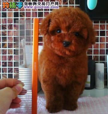 高品质贵宾犬转让 三针齐全保健康 微信咨询看狗