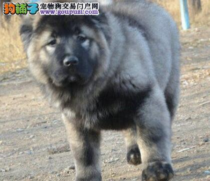 深圳哪家狗场信誉最好深圳哪里有卖俄系高加索犬