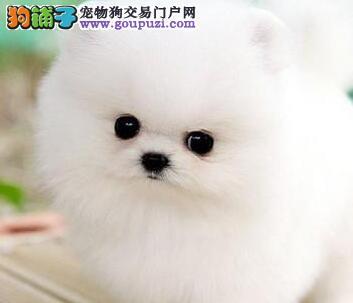 上海顶级优秀狗场出售哈多利版博美犬 可签售后协议