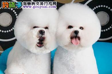 可爱黏人的比熊自家繁殖的比熊宝宝要找新主人啦!