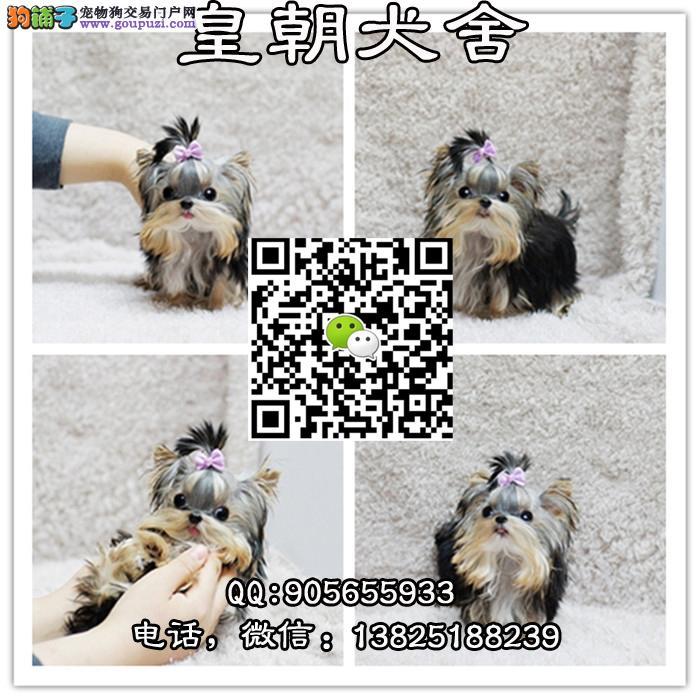 广州边度有卖约克夏 广州边度有卖约克夏幼犬