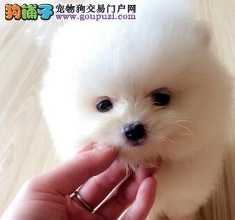 黄灰色白色的博美犬特价优惠出售 仅限呼和浩特朋友选