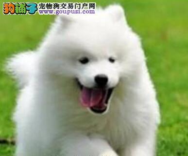 热销多只优秀的果洛州纯种萨摩耶幼犬签订终身纯种健康协议