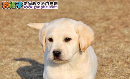 出售健康的佛山拉布拉多犬 看狗可随时和我取得联系