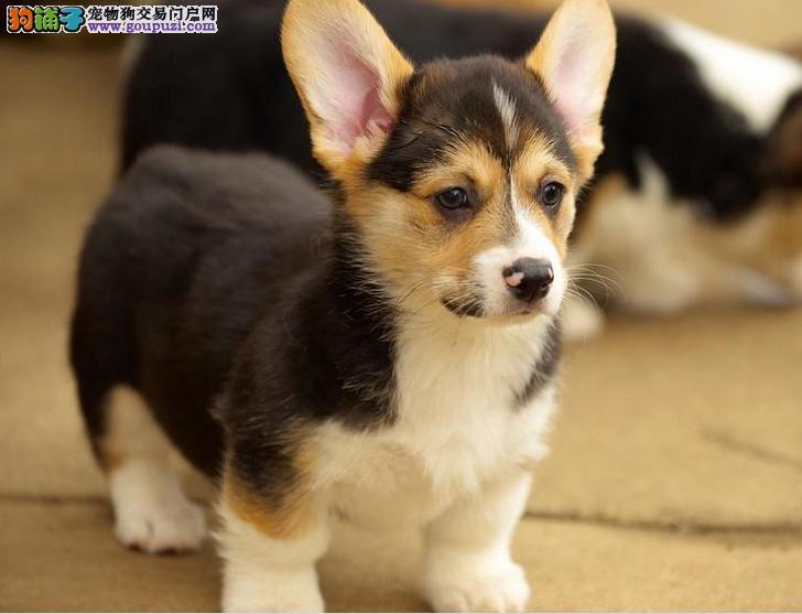 新疆哪里卖柯基幼犬 哪里有纯种的柯基幼犬出售