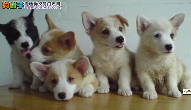 热销柯基幼犬 专业繁殖血统纯正 质保全国送货