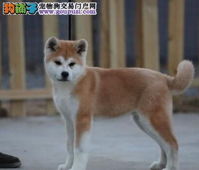 红河州上门犬业出售秋田犬/当天全款包邮·送货上门