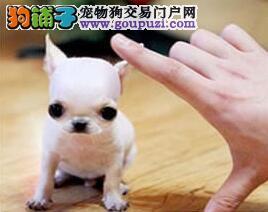 自家犬舍繁殖纯种贵阳吉娃娃 有健康保证已做好驱虫
