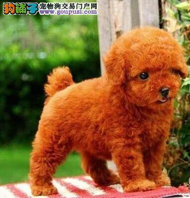 家养多只自贡贵宾犬宝宝出售中优质售后服务