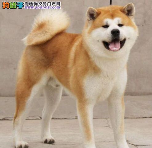 纯种秋田犬幼崽、品相血统一级棒、签订正规合同