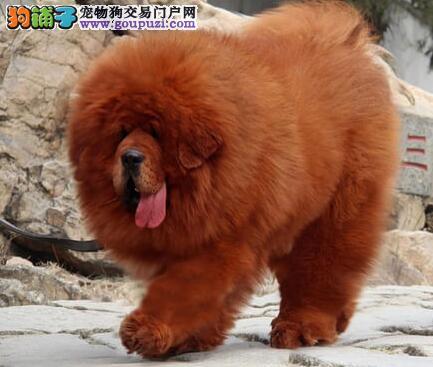 精品顶级藏獒幼犬出售 可签协议武汉地区免费送狗
