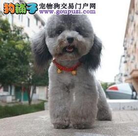 广州贵宾泰迪熊 纯种迷你贵宾、玩具贵宾幼犬